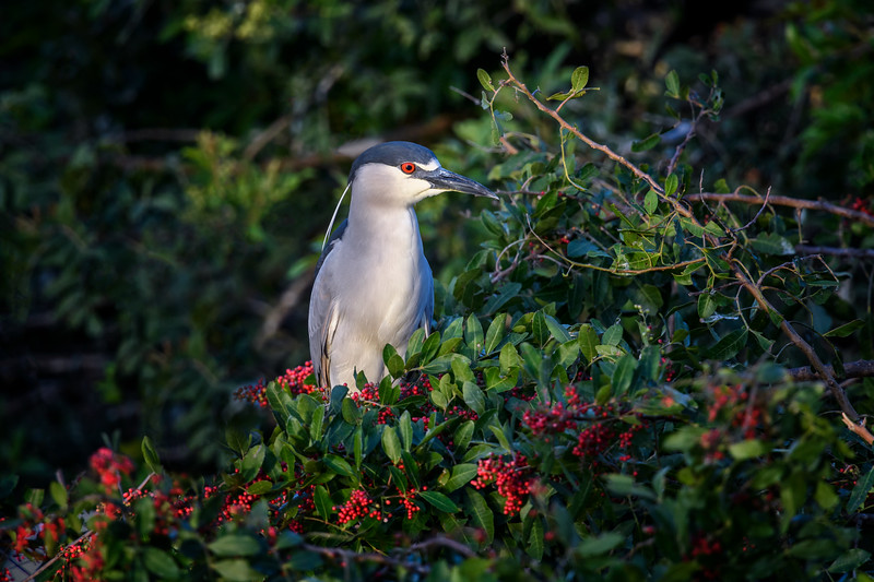 Black-crowned night heron (Nycticorax nycticorax) at Venice Rookery, Venice, Florida