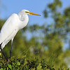 Great White Heron, Everglades National Park, Florida