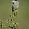 Black-eared Wheatear (Oenanthe hispanica), Kenya, East Africa