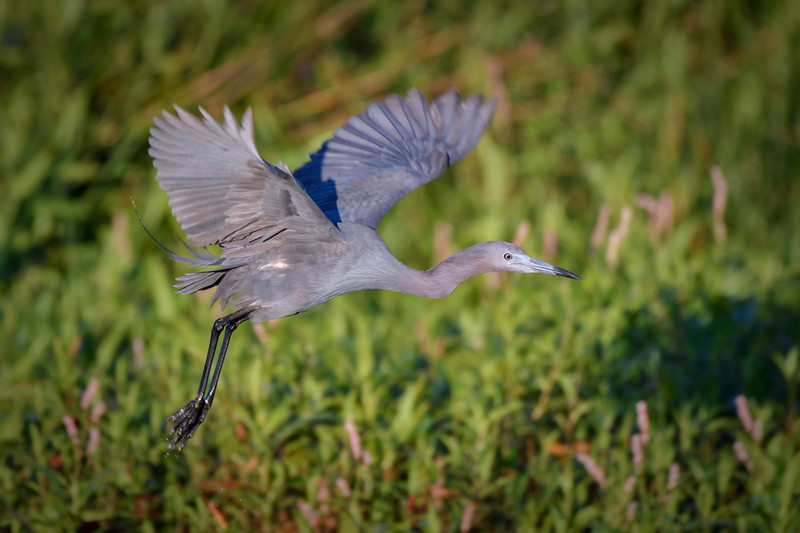 Little Blue Heron with breeding plumage in flight at Harns Marsh, Fort Myers, Florida