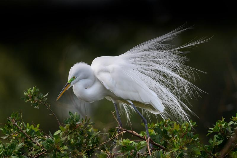 Great egret (Ardea alba) in breeding plumage at Venice Rookery, Venice, Florida