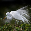 Great egret (Ardea alba) in breeding plumage at Venice Rookery, Venice, Florida