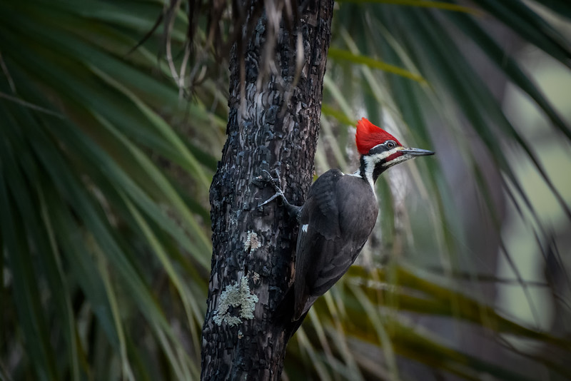 Male Pileated woodpecker (Dryocopus pileatus) at Corkscrew Swamp Sanctuary, Naples, Florida
