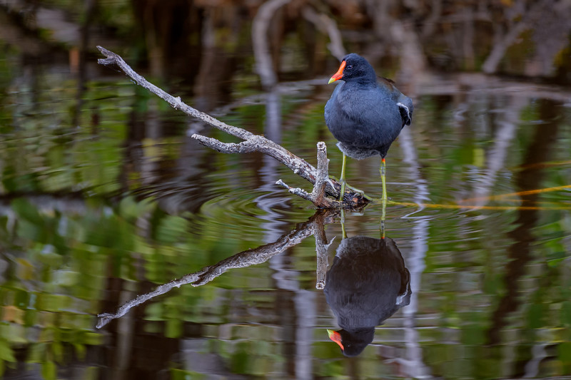 "Common moorhen (Gallinula chloropus) and reflection along the Indigo Trail in J. N. ""Ding"" Darling National Wildlife Refuge, Sanibel Island, Florida"