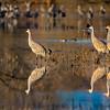 Sandhill Cranes at sunrise in Bosque del Apache National Wildlife Refuge near Sorocco, New Mexico