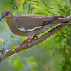 White-winged Dove perched in a tree near Rio Grande City, South Texas
