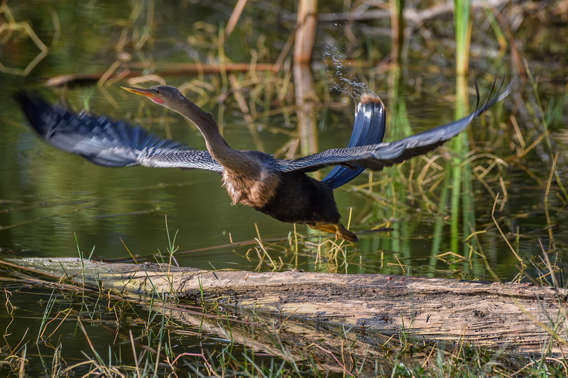Anhinga (Anhinga anhinga) taking off from a log at Babcock Wildlife Management Area, Punta Gorda, Florida