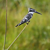 Pied Kingfisher, Kenya, East Africa