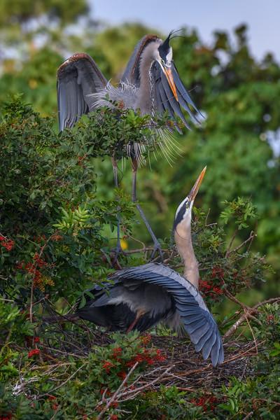 Great blue heron (Ardea herodias) couple build their nest at the Venice Audubon Rookery, Venice, Florida