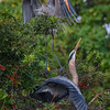 Great blue heron (Ardea herodias) couple build their nest at the Venice Audubon Rookery, Venice, Florida