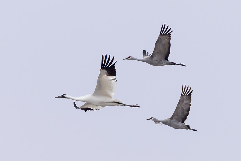 An endangered Whooping Crane (Grus americana)  and two Sandhill Cranes (Grus canadensis) in flight over the Platte River, Nebraska