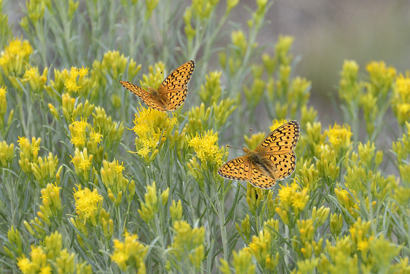 Two Butterflies in Grand Teton National Park, Wyoming
