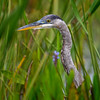 Juvenile Great blue heron (Ardea herodias) in the marsh at Babcock Wildlife Management Area, Punta Gorda, Florida