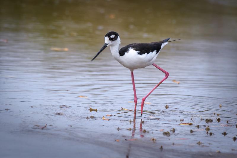 Black-necked stilt at Bailey's Tract, Sanibel Island, Florida