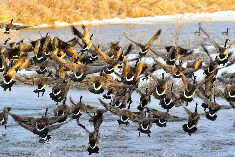 Canadian Geese Take Off at Fort Niobrara National Wildlife Refuge, Nebraska
