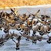 Canadian Geese Take Off at Fort Niobrara National Wildlife Refuge, Nebraska