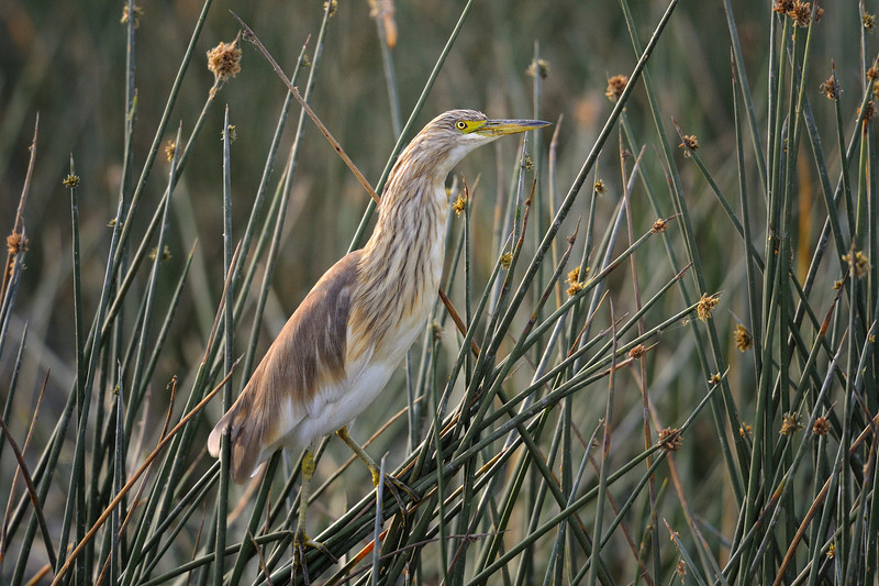 Malagasy pond heron (Ardeola idae) in the willows at Lake Nakuru, Kenya, East Africa