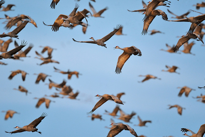 Sandhill Cranes in Flight near Kearney, Nebraska