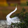 Great egret (Ardea alba) puts on a display to attract mate, Venice Rookery, Venice, Florida