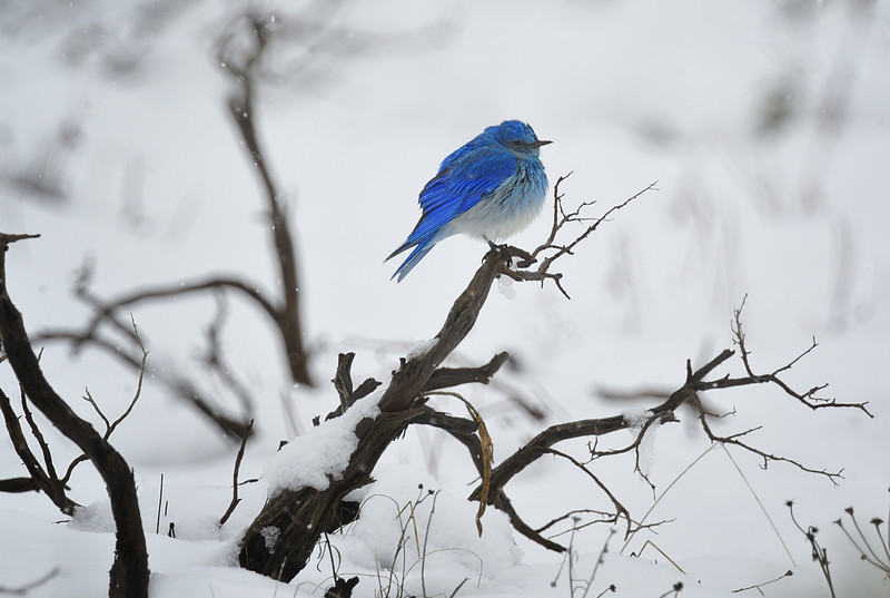 Western Bluebird puffed up in the Snow, Grand Teton National Park, Wyoming