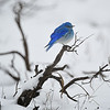 Western Bluebird in the Snow, Grand Teton National Park, Wyoming