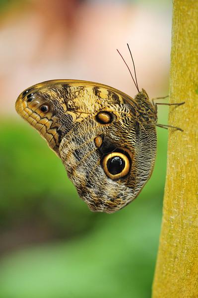 Owl Butterfly (Caligo atreus)