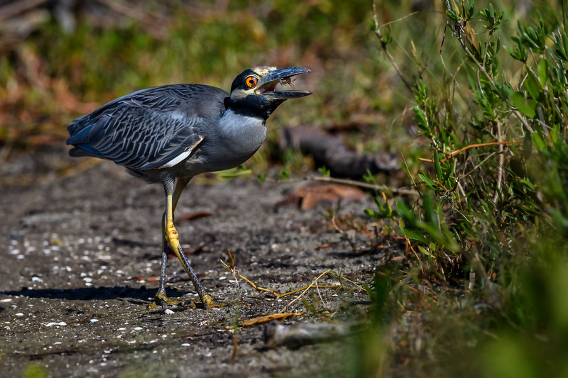 "Adult Yellow-crowned night heron (Nyctanassa violacea) catching sand crabs at J. N. ""Ding"" Darling National Wildlife Refuge on Sanibel Island, Gulf of Mexico"