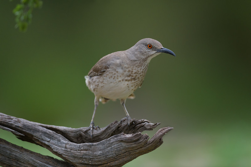 Curve-billed thrasher (Toxostoma curvirostre) near Rio Grande City, South Texas