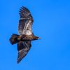 Juvenile bald eagle (Haliaeetus leucocephalus) flying over the Platte River at sunrise, Wood River, Nebraska