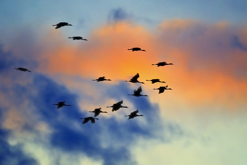 Sandhill Cranes in flight over Kearney, Nebraska at sunset