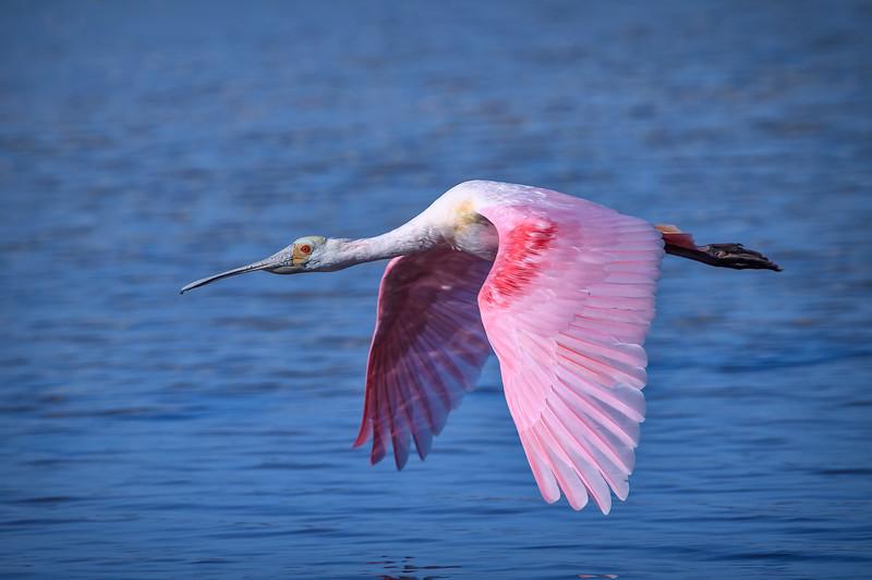 "Roseate spoonbill in flight over water at J.N. ""Ding"" Darling National Wildlife Refuge, Sanibel Island, Florida"