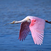 "Roseate spoonbill in flight over water at J.N. ""Ding"" Darling National Wildlife Refuge, Sanibel Island, Florida"