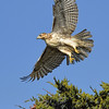 Red Tail Hawk in Flight, Cap Cod, Massachusetts