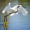 White Egret Taking Off