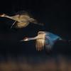 Sandhill Cranes in Flight near Kearney, Nebraska