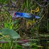 American purple gallinule in flight between lily pads at Green Cay Wetlands west of Boynton Beach, Florida
