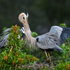 Female Great blue heron (Ardea herodias) greeting her mate at their nest at the Venice Audubon Rookery, Venice, Florida