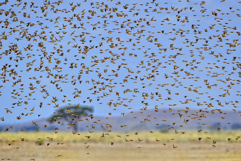 Large Flock of Birds, Amboseli National Park, Kenya, East Africa