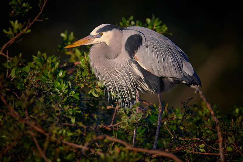 Great blue heron at sunrise at Venice Rookery, Venice, Florida
