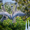 Great blue heron chicks after consuming an afternoon meal. Two Great Egret chicks seem baffled by all the commotion, Venice Rookery, Venice, Florida