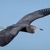 Little Blue Heron in flight above the marsh at Ten Thousand Islands National Wildlife Refuge