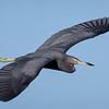 Little Blue Heron in flight above the marsh at Ten Thousand Islands National Wildlife Refuge