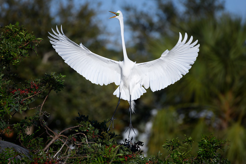 Great egret (Ardea alba) at Venice Rookery, Venice, Florida
