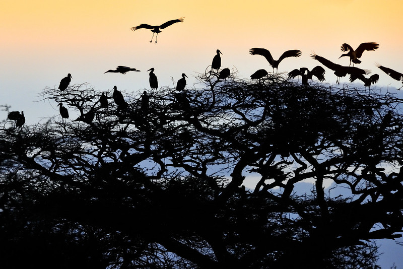 Storks Landing for the Evening in Ndutu Conservation Area, Tanzania, East Africa
