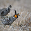Male Greater Prairie Chicken near Burwell, Nebraska