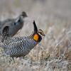 Male Greater Prairie Chicken near Burwell, Nebraska
