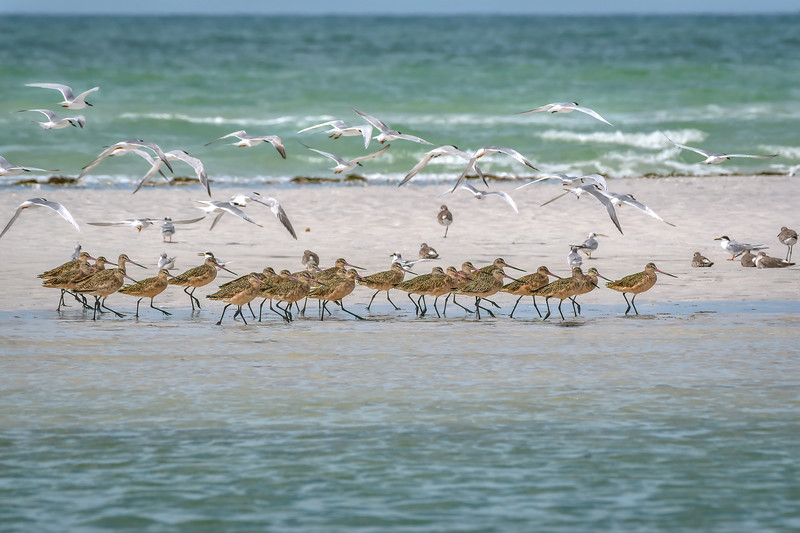 Flock of Royal terns fly over a group of Marbled Godwits on a sandbar in the Gulf of Mexico, St. Petersburg, Florida