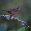 Juvenile Swamp sparrow at Nisqually National Wildlife Refuge near Olympia, Washington