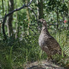 Ruffled Grouse along the Iceberg Lake Trail, Many Glacier, Glacier National Park, Montana