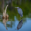 Little blue heron and reflection at Babcock Wildlife Management Area near Punta Gorda, Florida